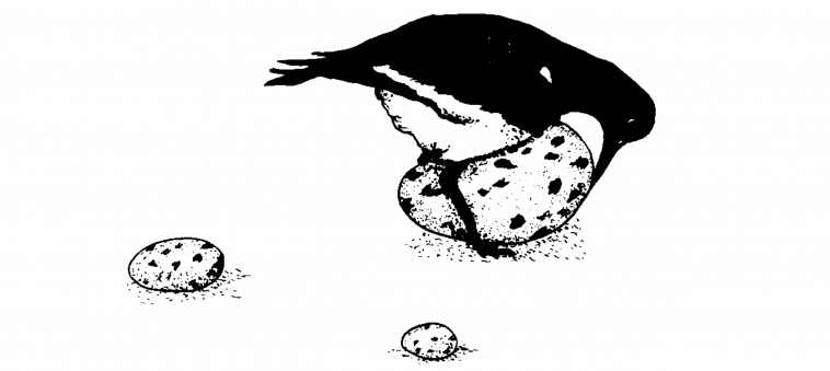 supernormal stimulus oystercatcher